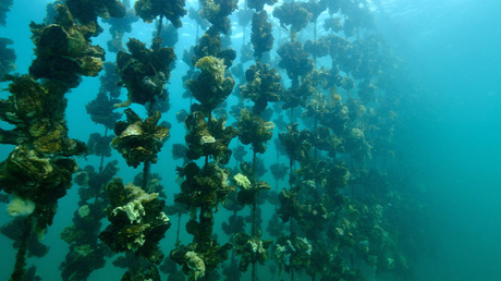 Farmed Oysters: A Sustainable Choice